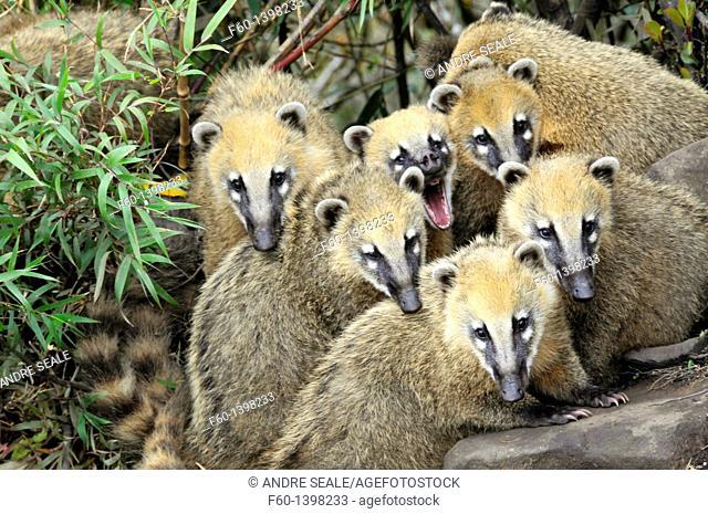 Group of wild coatis, Nasua nasua, Santa Catarina, Brazil