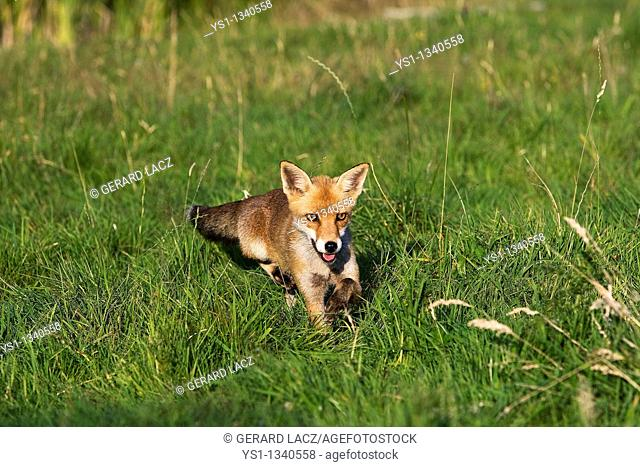 RED FOX vulpes vulpes, ADULT STANDING ON GRASS, NORMANDY IN FRANCE