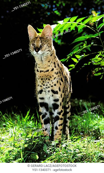 SERVAL leptailurus serval, ADULT STANDING ON GRASS