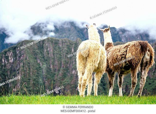 Peru, Machu Picchu region, Two Llamas looking at foggy mountains