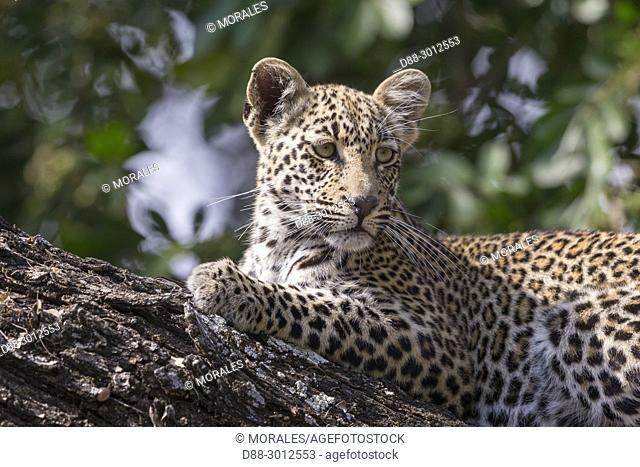 Africa, Southern Africa, South African Republic, Mala Mala game reserve, savannah, African Leopard (Panthera pardus pardus), young resting