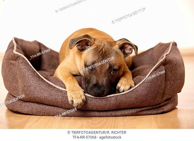 lying Staffordshire Bullterrier