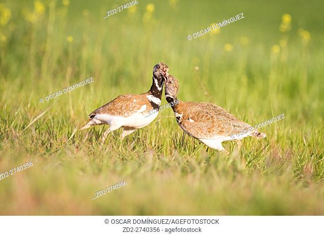 Little Bustard (Tetrax tetrax), two males fighting over territory. Lleida province. Catalonia. Spain