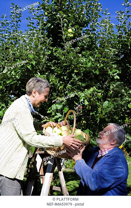 An elderly couple picking apples a sunny day, Sweden