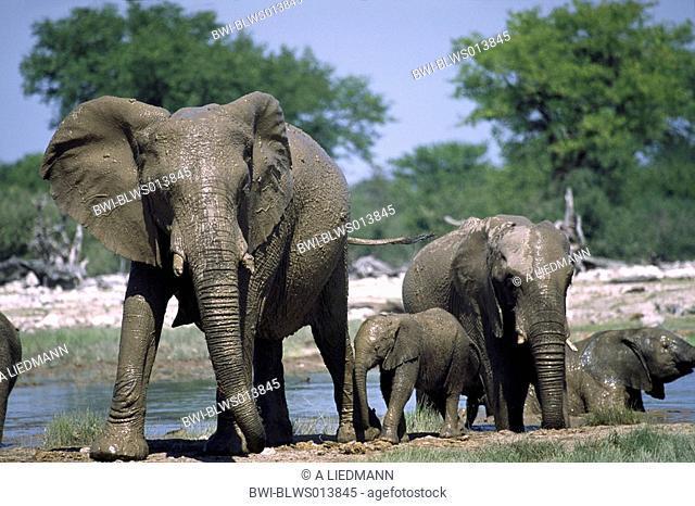 African elephant Loxodonta africana, female elephant with calve after a mudbath, Namibia, Ovamboland, Etosha NP