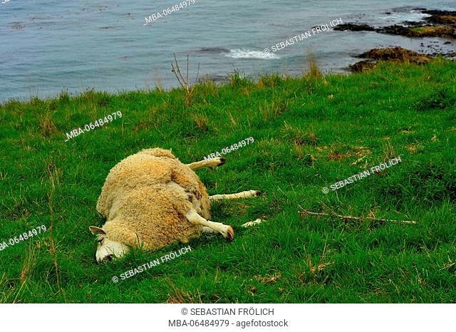 Dead sheep ouch of a meadow in the New Zealand seashore