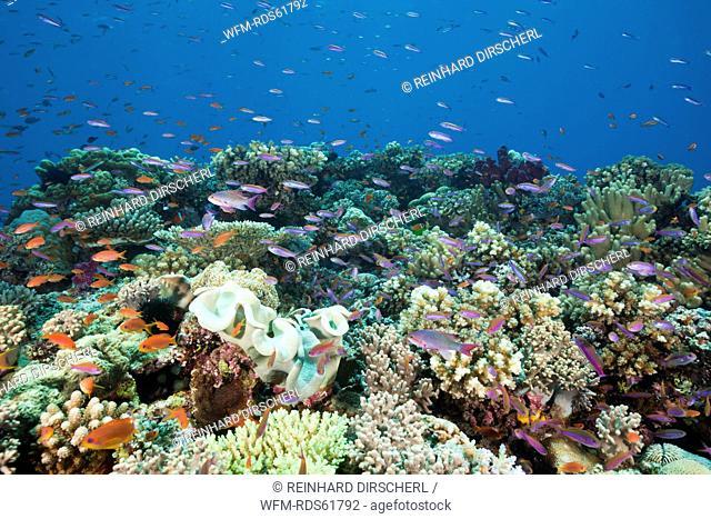 Anthias over Coral Reef, Luzonichthys whitleyi, Pseudanthias squamipinnis, Namena Marine Reserve, Fiji