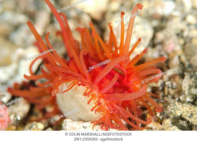 Oriental Fileclam ( Limaria orientalis), Nudi Retreat dive site, Lembeh Straits, Sulawesi, Indonesia