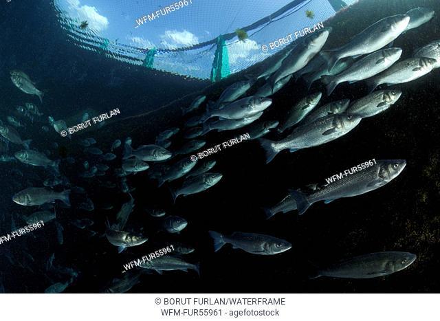 Fonda Fish Farm, European Seabass, Dicentrarchus labrax, Adriatic Sea, Piran, Slovenia