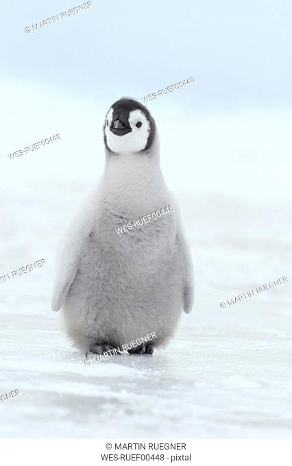 Antarctica, View of young emperor penguin