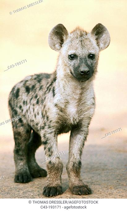 Spotted Hyena (Crocuta crocuta). Kruger National Park. South Africa
