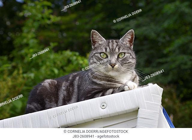Light-Grey Tabby cat sitting sitting on beach chair