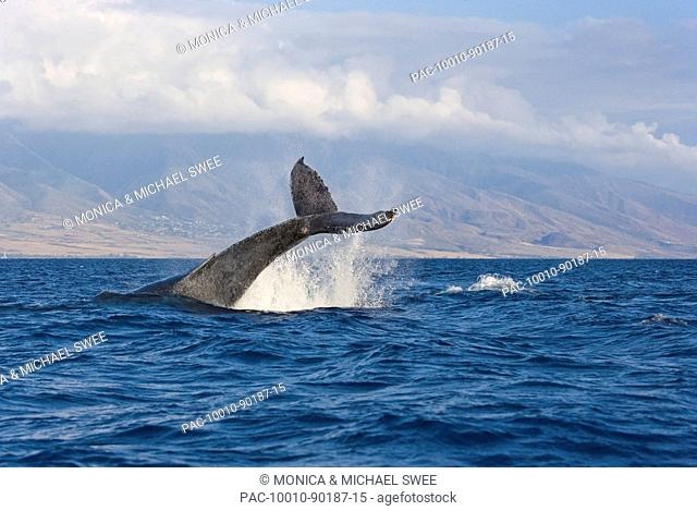 Hawaii, Maui, Humpback whale fluking its tail