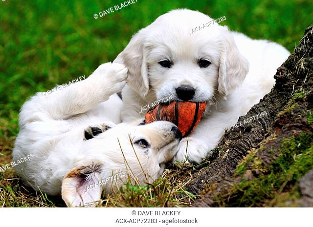 Purebred English Golden Retriever puppies playing with a soft orange ball