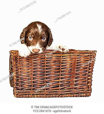 A 4 week old liver and white English Springer Spaniel puppy in a wicker basket