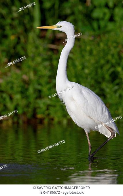 Great Egret (Ardea alba), Campania, Italy