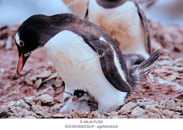 Adult Gentoo Penguin Pygoscelis papua with chick sitting on a nest The chick is flapping its wings Neko Harbour, Antarctica