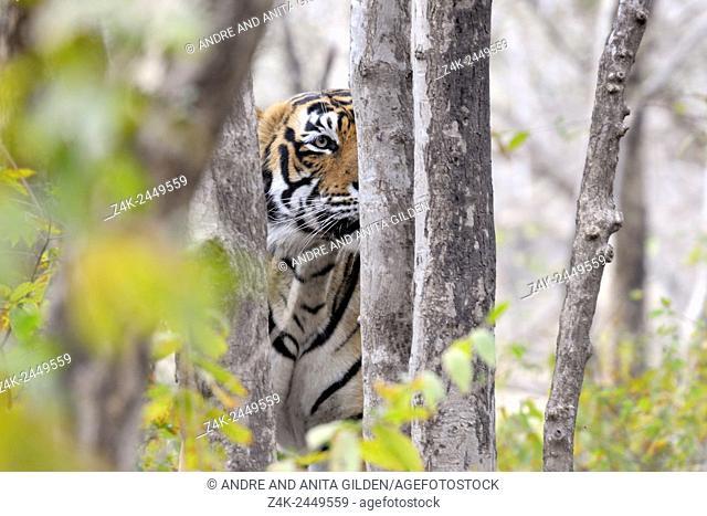 Bengal Tiger (Panthera tigris tigris) stalking from behind a tree, Ranthambhore national park, Rajastan, India