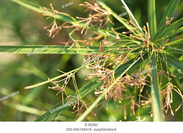 Close up of Flowering Umbrella Plant Cyperus alternifolius