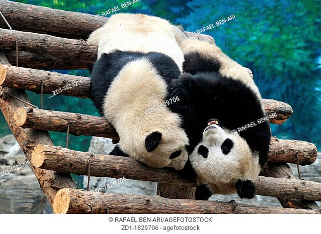 Panda bears in Beijing Zoo, China