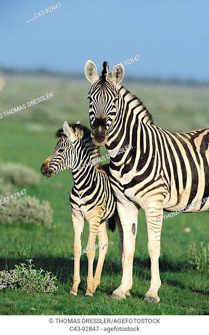 Chapman's Zebra (Equus burchelli chapmani), female with foal. Etosha National Park, Namibia