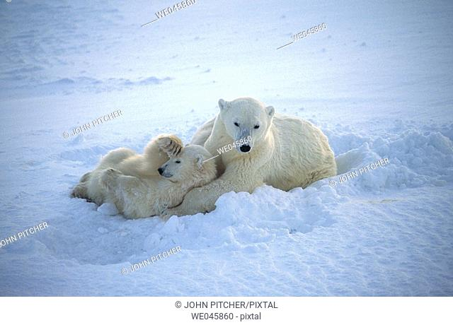 Ursus maritimus. Polar bears. Churchill. Canada