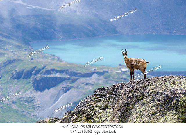 Chamois on a rocky slope (Valle dell'Orco, Gran Paradiso National Park, Piedmont, Italy)