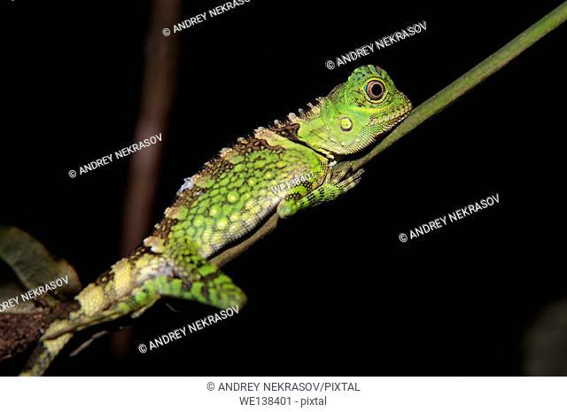 Chameleon Forest Dragon or Chameleon Anglehead Lizard (Gonocephalus chamaeleontinus) Kubah National Park, Sarawak, Malaysia