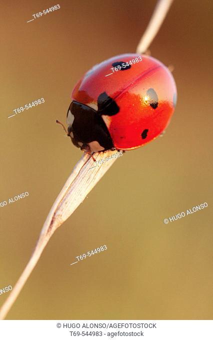 Ladybug (Coccinella septempunctata). La Rioja, Spain