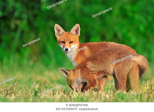 Photo of two wild red foxes in a field