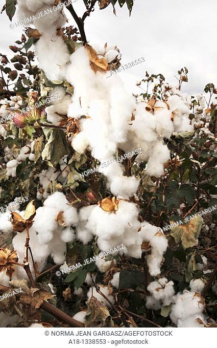 Cotton grown in Tucson, Arizona, USA
