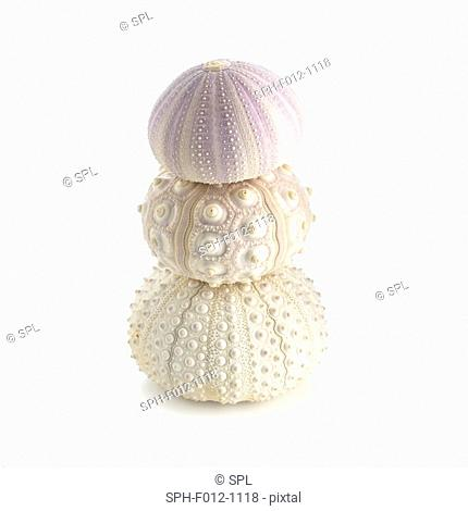 Sea urchin shells on top of each other