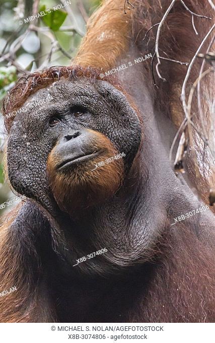 Adult male Bornean orangutan, Pongo pygmaeus, Tanjung Harapan, Borneo, Indonesia