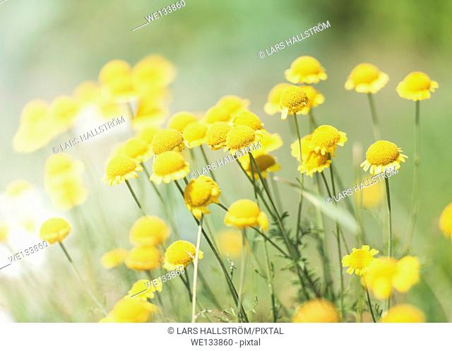 Tranquil summer nature scene, close up of yellow flowers in sunlight