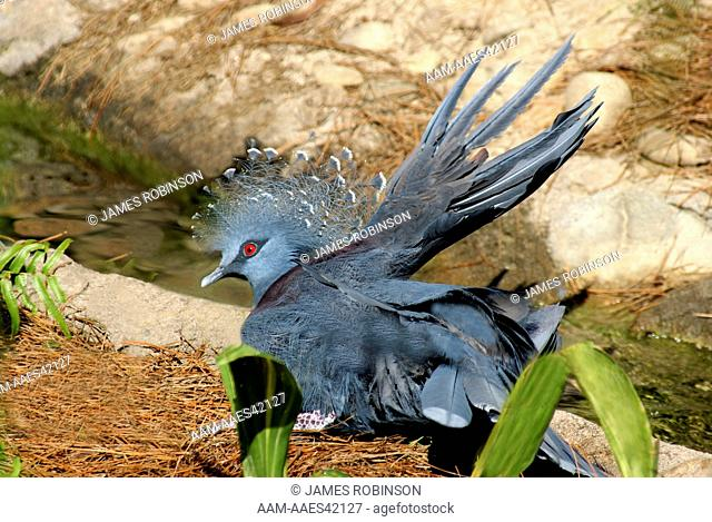 Victoria Crowned Pigeon (Goura victoria) New Guinea