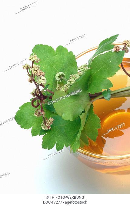 sanicle - wood sanicle - tea - medicinal plant - herb - erba fragolina - pianta medicinale - t