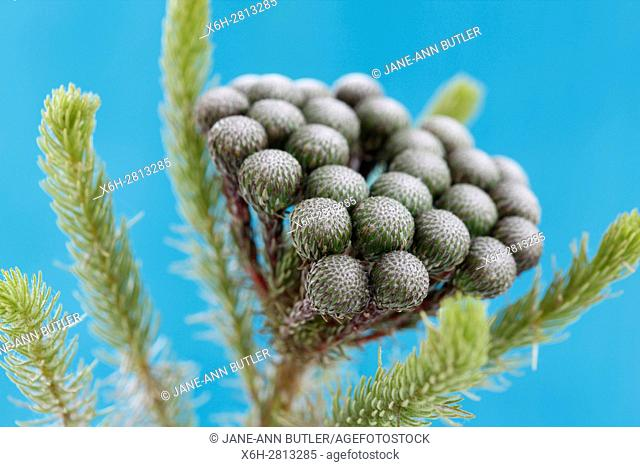 single stem many round flower heads, brunia albiflora still life blue background - strength and abundant