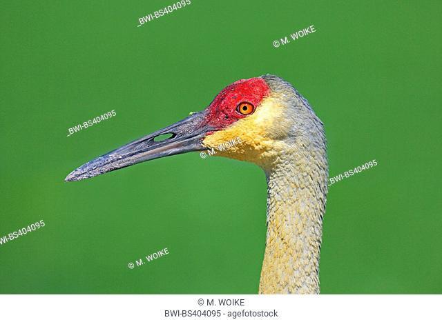 sandhill crane (Grus canadensis), portrait, USA, Florida, Kissimmee