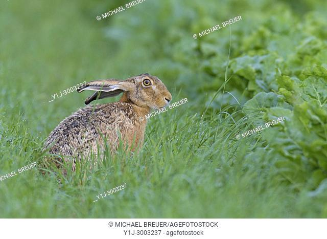 European brown hare (Lepus europaeus) in summer, Hesse, Germany, Europe