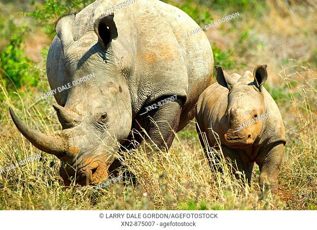 White Rhino and baby. Kruger National Park. South Africa