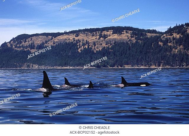 Killer whales orcinus orca in gulf islands, Vancouver Island, British Columbia, Canada
