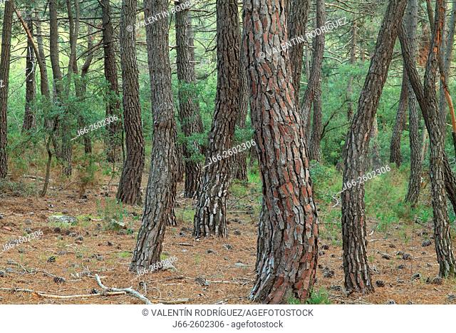 Pinewood, Pinus pinaster, in the Alto Palancia region. Castellón