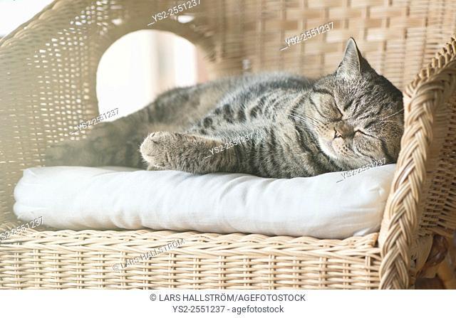British shorthair cat lying in wicker chair sleeping