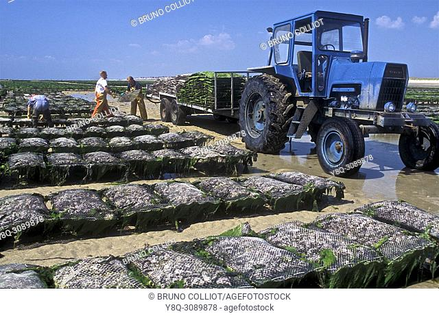 oyster farming in Coutainville, oysters. La Manche, Normandy, France