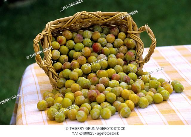 France, Moselle 57, basket of mirabelles plums fruits