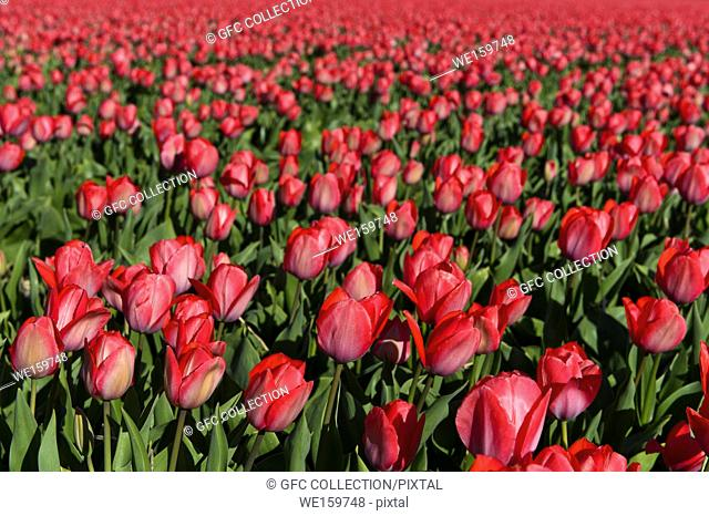 Field of pink tulips for the production of flower bulbs in the Bollenstreek area, Noordwijkerhout, Netherlands