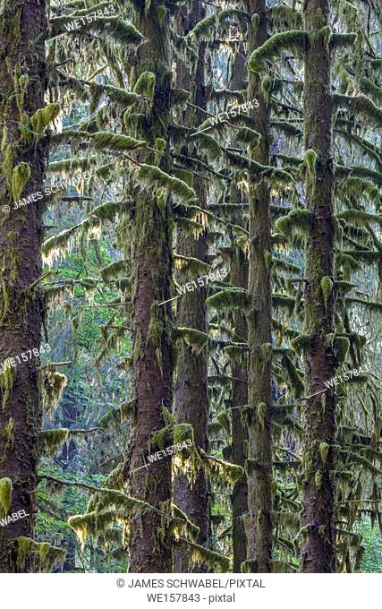 Along the Hall of Mosses Trail in the Hoh Rain Forest iin Olypmic National Park in Washington State in the United States