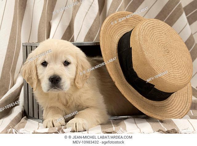 Dog - Golden Retriever puppy with hat