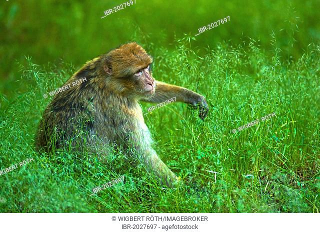 Barbary Macaque (Macaca sylvanus) sitting in the grass, Middle Atlas Mountains, Morocco, Africa