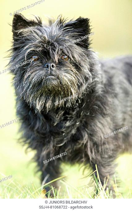 Monkey Terrier. Adult dog standing on a meadow. Germany